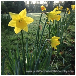 Daffodils - a favourite flower of mine!