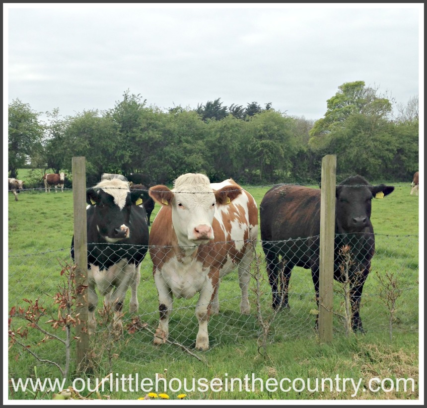 "The ""baby"" cows as Oodles calls them - there are several young calves in the fiels and they are so curious and come straight over to the fence when D and O go out to visit!"